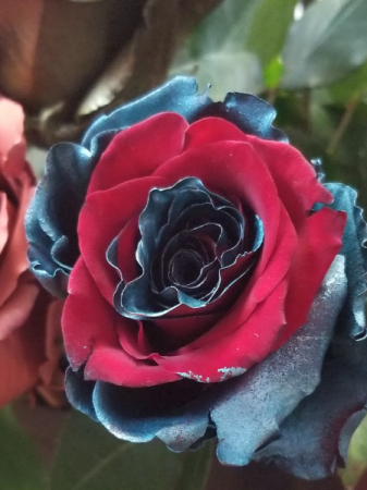 TEAL AND RED ROSE 1 DOZEN