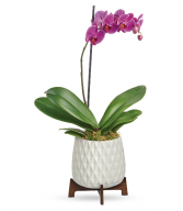 Teleflora's Architectural Orchid Plant