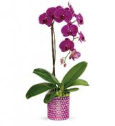 Teleflora's Dazzling Orchid Plant