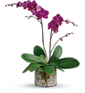 Teleflora's Glorious Gratitude Orchid Blooming Plant
