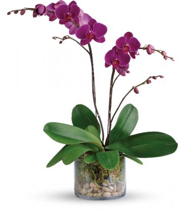 Teleflora's Gratitude Orchid