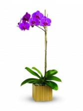 Teleflora's Imperial Purple Orchid T981A Plant