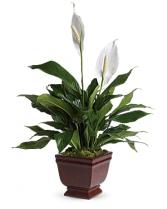 Teleflora's Lovely One Spathiphyllum Plant Plant