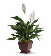 Teleflora's Lovely One Spathiphyllum Sympathy