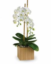 Teleflora's Opulent Orchids Plant