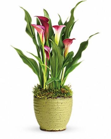 Teleflora's Spring Calla Lily Plant