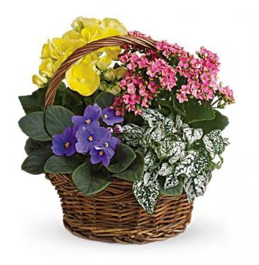 Teleflora's Spring has Sprung Basket Blooming Plant Basket