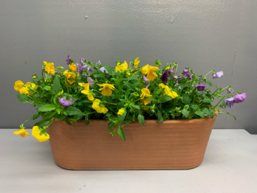 Terracotta planter with violas  Outdoor plant