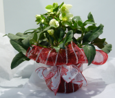 THE CHRISTMAS ROSE Hellebores Outdoor Plant