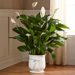 The FTD Comfort Planter  Green Plant