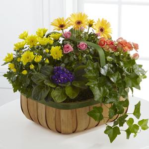 The FTD Gentle Blossoms Basket Blooming Plant Basket