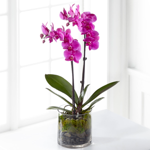 The FTD Pink Orchid Plant Blooming Plant