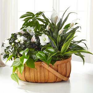 The FTD Serene Dishgarden Blooming Plant Basket