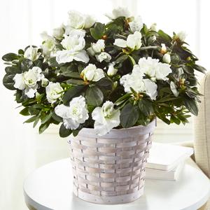 The FTD White Azalea Plant Blooming Plant