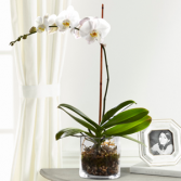 The FTD White Orchid Planter Blooming Plant