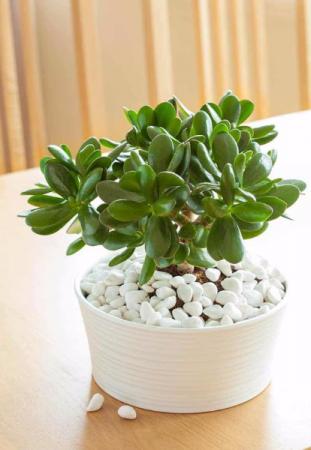 The Jade Plant