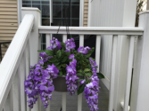 Think spring  Hanging wisteria plants