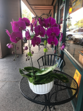 Three large orchid Three large orchid in white pot