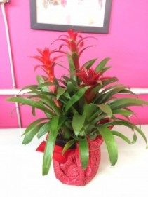 Three Stemed Bromeliad