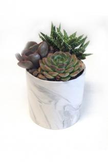 Three Succulent