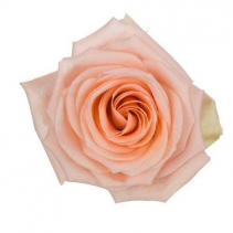 Tiffany Peach Rose Ravishing Rose Color Option
