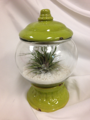 Tillandsia Bubble Planter Plant in Detroit Lakes, MN | DETROIT LAKES FLORAL