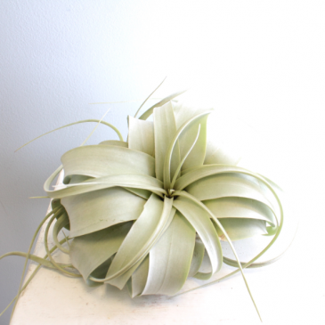 Tillandsia Xerographica *PICK UP ONLY*