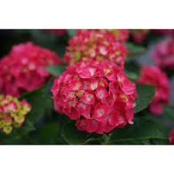 Tilt A Whirl Hydrangea  Hardy Repeat Blooming Hydrangea