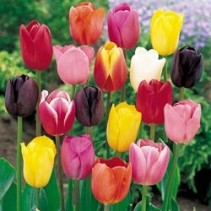 Assorted tulips in Glass Vase Spring special