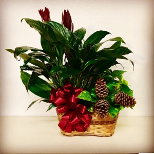 Tis The Season Plant Duo with Christmas Design in Plainview, TX | Kan Del's Floral, Candles & Gifts