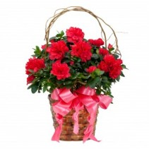 Graceful Azalea Blooming Plant