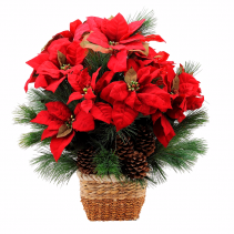 Natural Poinsettia Blooming Plant