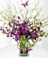 Dazzling  Dendrobium Orchids