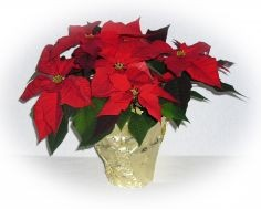 Top Grade Brilliant  Poinsettia Plant