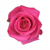 Hot/Dark Pink Rose Classic Roses Color Option