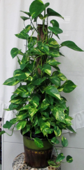 Totem Pothos Green House Plant