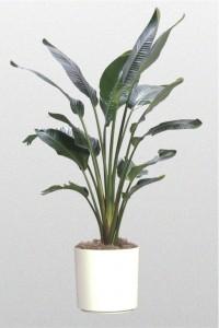 Towering bird of paradise plant plant