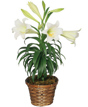 Traditional Easter Lily Flowering Easter Plant in Crawfordville, FL | Front Porch Creations Florist