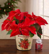 Traditional Holiday Poinsettia