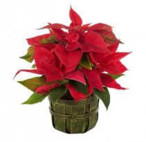 Traditional Holiday Poinsettia Plant