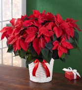 Traditional Poinsettia Large