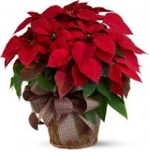 Traditional Red Poinsettia Plant Decorated in a Basket