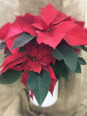 Traditions Pointsettia in Easton, CT | Felicia's Fleurs