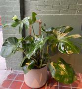 Trellis Monstera  plant in 12 inch diameter pot