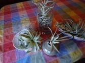 Trendy Air plants Self sustaining plants from Tropics