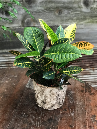 Tri-Color Croton