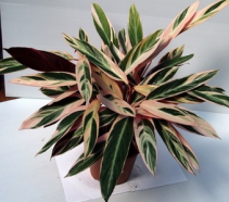 Tricolor Stromanthe