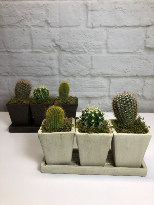 Trio Cactus Planter in Neutral Pottery in South Milwaukee, WI | PARKWAY FLORAL INC.