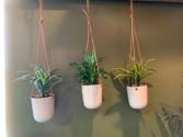 Trio hanging  Plants