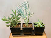 Trio of succulents  Plant